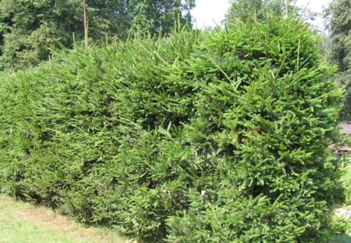 Несмотря на свою красоту, еловые изгороди встречаются довольно редко / Фото: treespk.ru