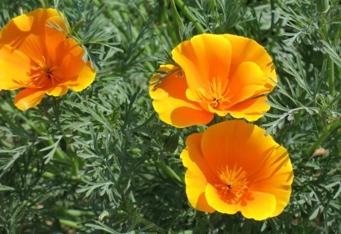 Лепестки цветка будто атласные, ярко-оранжевого оттенка / Фото: vasha-teplitsa.ru