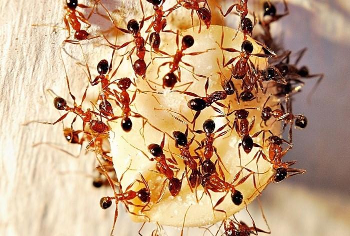 Фараоновые муравьи досаждают и в доме, и на огороде / Фото: abzac.cc