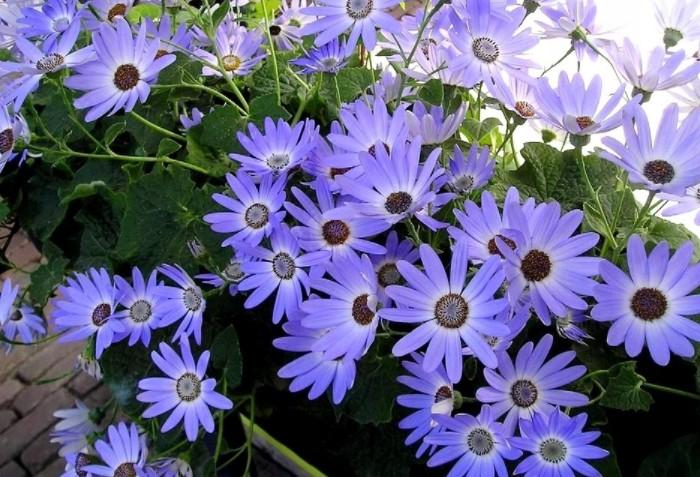 Фелиция вырастает до 50 см и цветет в течение двух месяцев начиная с июля / Фото: parnik-teplitsa.ru