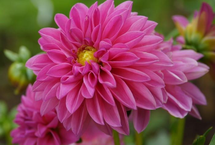 Прекрасные георгины помогут укрыть несовершенства сада от посторонних глаз / Фото: nastol.com.ua