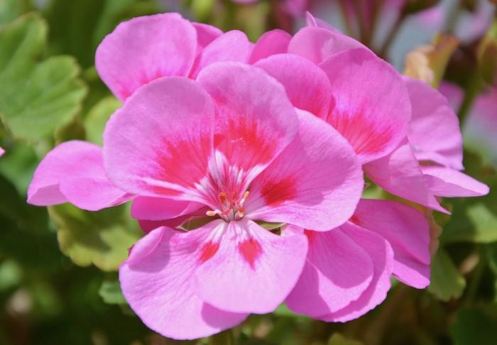 Герань можно выращивать и как уличный цветок, и как комнатный / Фото: pixabay.com