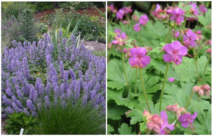 Котовник цветет очень долго, привлекая насекомых, а герань с крошечными фиолетовыми соцветиями поддерживает общую цветовую гамму