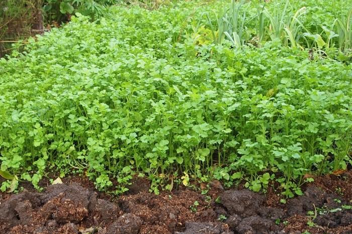 Посадите горчицу, чтобы удобрить почву для овощей / Фото: 7ogorod.ru