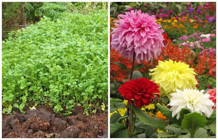 Посадите рядом с картофелем растения, которые ни проволочники, ни жуки-щелкуны на дух не переносят
