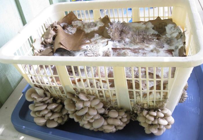 Удобный вариант для сбора небольшого урожая / Фото: files.shroomery.org
