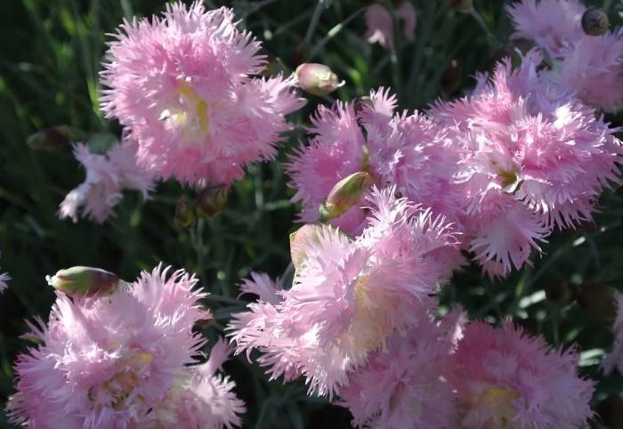 Гвоздику можно сеять не только в феврале, но и марте / Фото: 56440696406159.мои-6-соток.рф