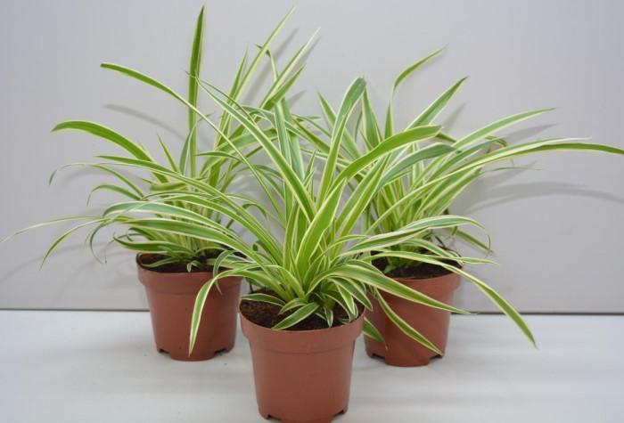 Травянистый хлорофитум очищает воздух в доме, избавляя его от токсинов и угарного газа / Фото: dekormyhome.ru