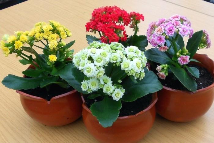 Каланхоэ радует пышными соцветиями разных оттенков: нежно-белыми, желтыми, оранжевыми, ярко-розовыми / Фото: i2.wp.com