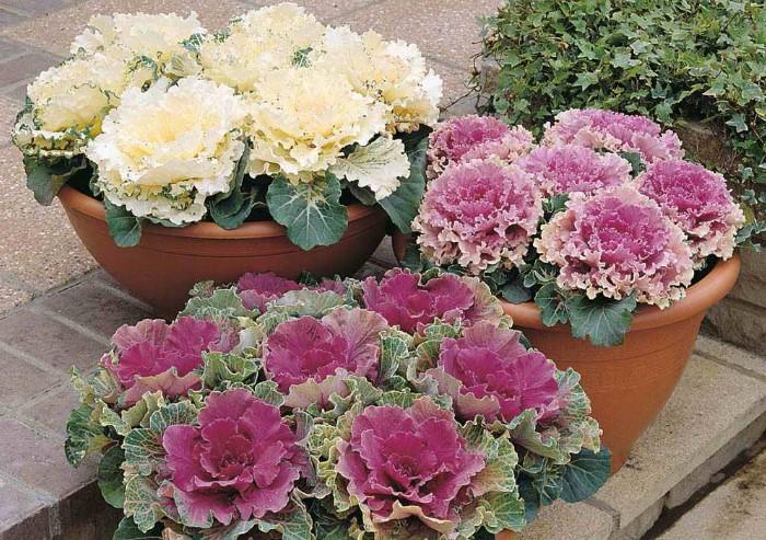 Декоративная капуста станет изюминкой зимнего сада / Фото: dacha.help