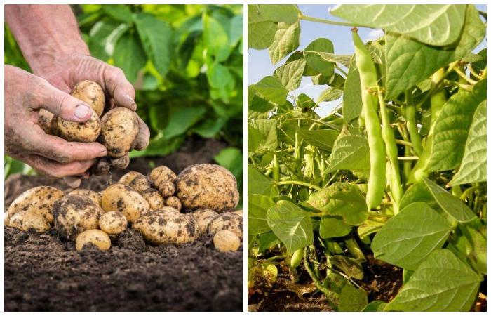 Фасоль улучшает вкус картофеля и редиса