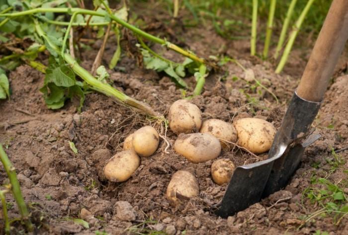 Как правило, узнать о наличии паразитов на участке можно только при выкапывании картофеля / Фото: 4dachi.ru