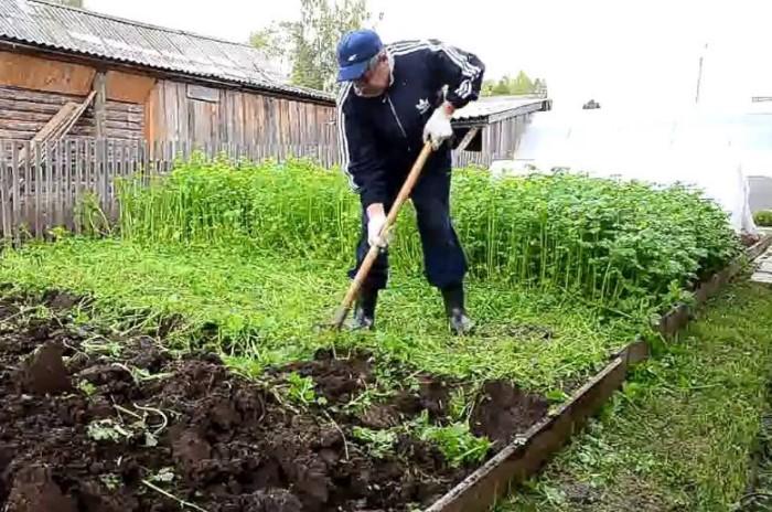 Сидераты обогащают почву и подготавливают к следующей посадке / Фото: frukti-yagodi.ru