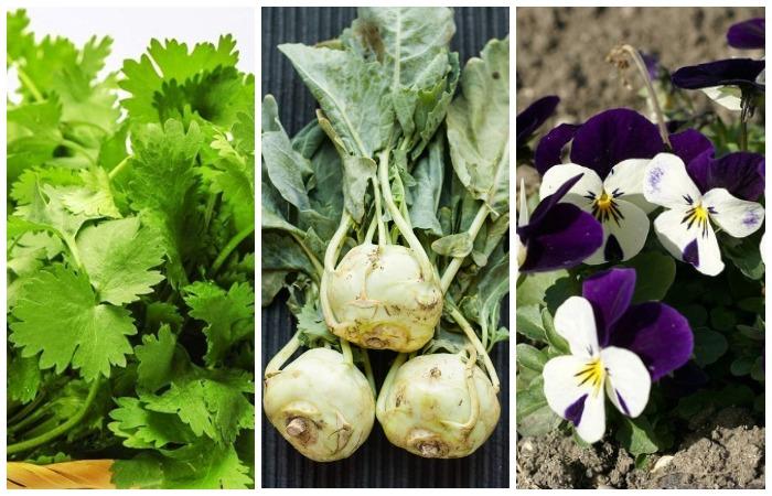 Кориандр, кольраби и фиалка - супер трио на огороде