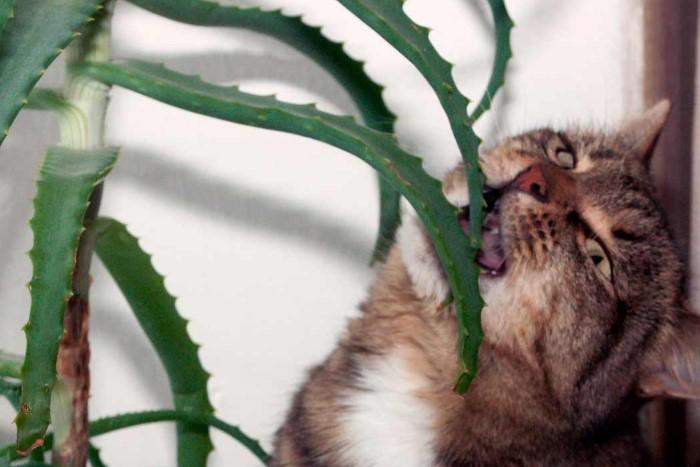 Грызть некоторые комнатные растения довольно опасно