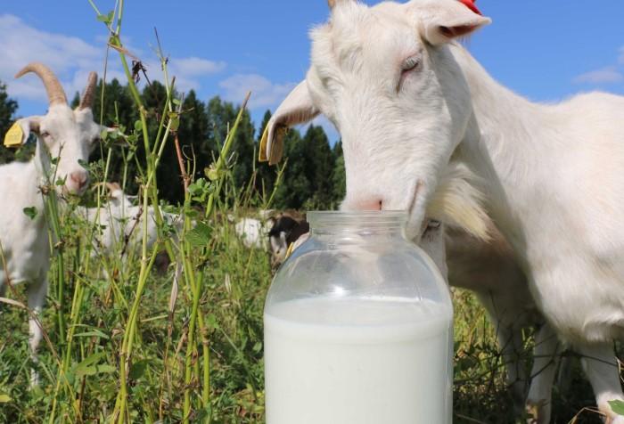 Козье молоко - второе по популярности после коровьего / Фото: tvori-chudo.ru