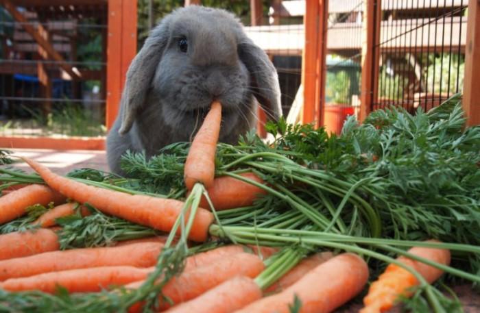 Морковь содержит легкоусваиваемый сахар, который вызывает у кроликов проблемы с пищеварением и зубами / Фото: agronomu.com