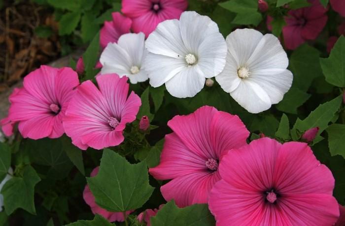 Лаватера - народная дикая роза / Фото: img0.st.kashalot.com