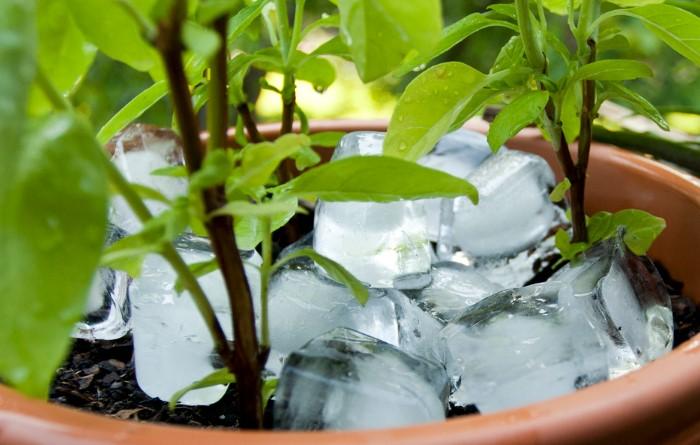 Кубики льда обеспечат постепенный полив  / Фото: greenhornwisdom.files.wordpress.com