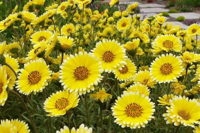 Ярко-желтая лейя изящная с легким смолистым ароматом станет украшением клумбы даже на неблагополучной земле / Фото:floral-house.ru