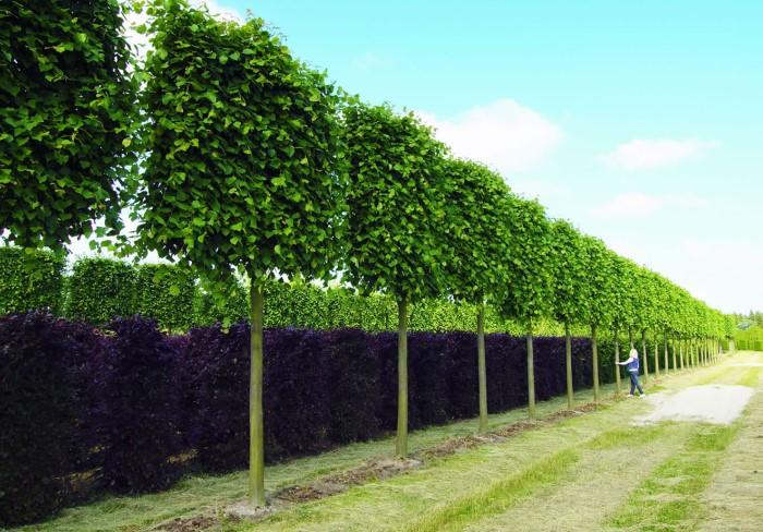 Липа на шпалере - декоративное растение с эффектной структурой, которое привлекает внимает и зимой, и летом / Фото: noteru.com