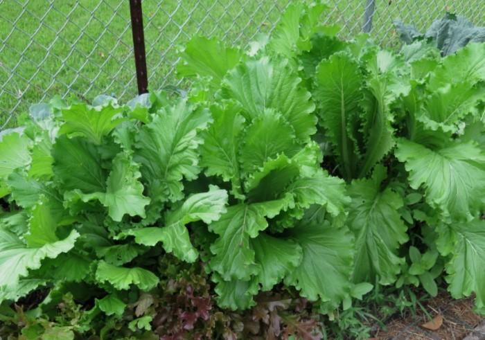 Пряную зелень добавляли в супы или ели вместе с другой «травой» / Фото: blackandwhiteseedcompany.com