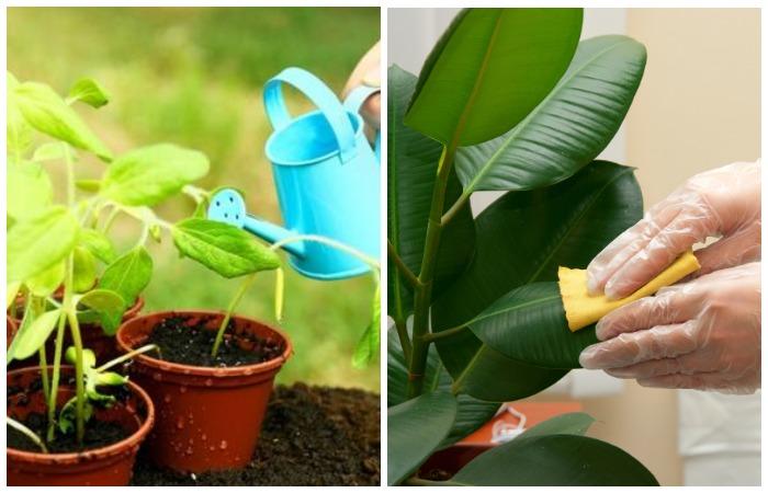 Вносите удобрение 3-4 раза в неделю и раз в месяц протирайте листочки