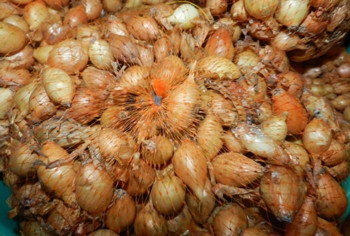 Порченные луковицы нужно немедленно убрать от общей массы / Фото: cstor.nn2.ru