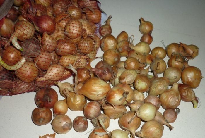 Если заготовить лук с осени, весной можно получить ранний урожай