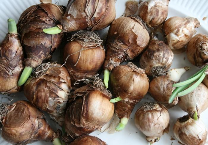 Луковичные растения хорошо пересаживать в конце лета / Фото: downtoearthdigs.files.wordpress.com