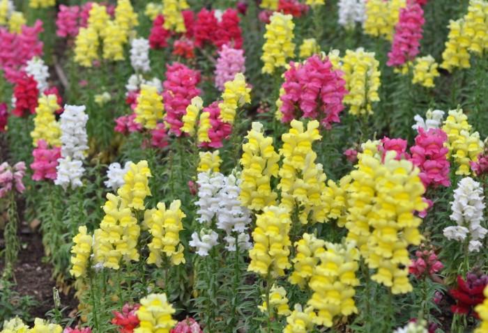 Антирринум отправляется в открытую почву в конце весны-начале лета / Фото: upload.wikimedia.org