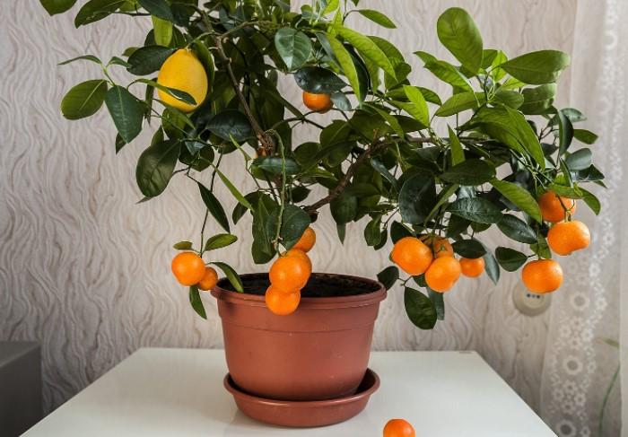 В квартире можно выращивать даже деревья, к примеру, лимонное или мандариновое / Фото: photonomy.ru