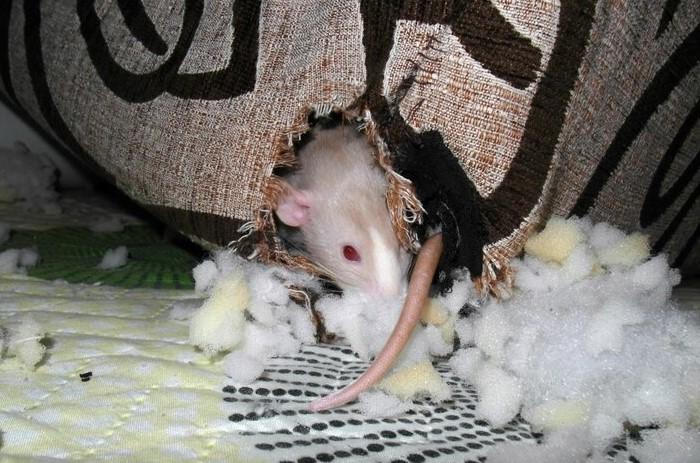 Мебель нужно разобрать, поскольку мышь может прогрызть обивку и оказаться внутри / Фото: ratmania.ru