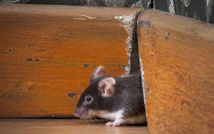 Мыши-малыши могут пролазить даже через сантиметровое отверстие / Фото: cdn.modernpest.com
