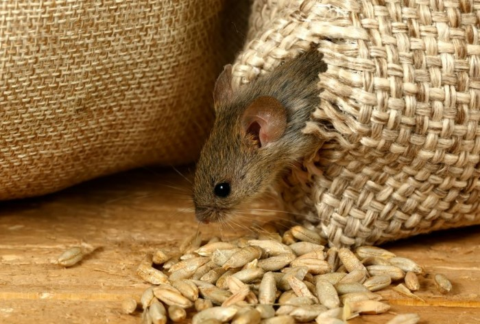 Мыши ловко прогрызают мешки с зерном и портят продукты  / Фото: mtdata.ru