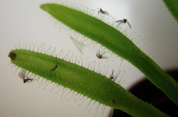 Из-за неправильного ухода на растениях могут обосноваться назойливые мошки