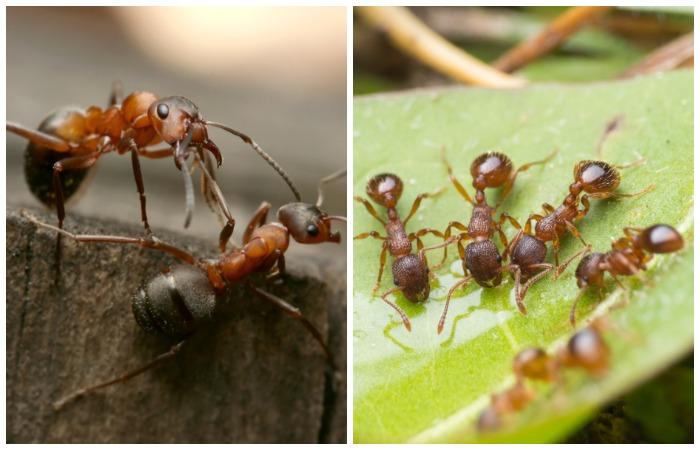 Лесные муравьи и мирмики