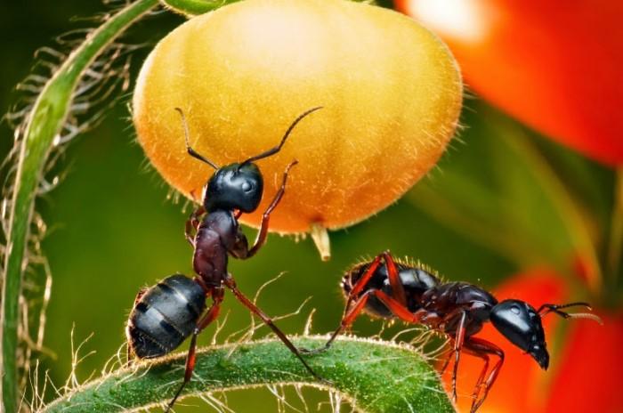 На огородах муравьи образовывают довольно обширные колонии / Фото: azbyka-vkysa.ru