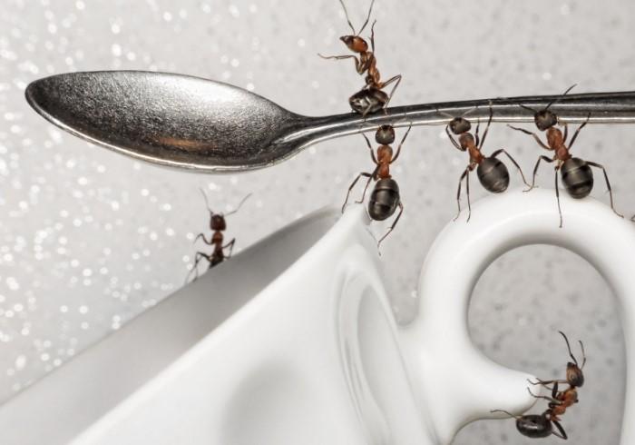 Лишите муравьев источника пропитания и они покинут ваш дом / Фото: severdv.ru