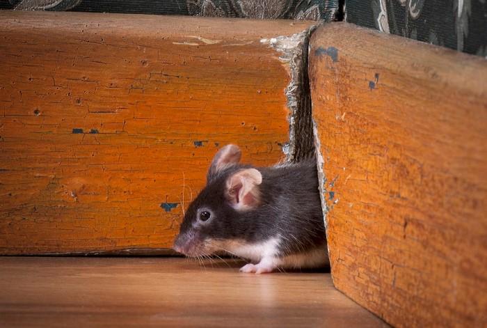 Запах мочи на использованном наполнителе отпугнет мышей / Фото: catseyepest.com