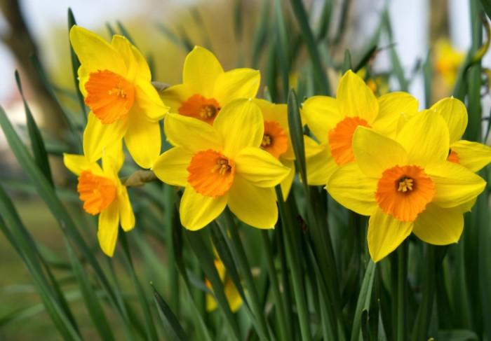 Ксантофобия - боязнь желтого цвета, включая нарциссы и солнце / Фото: coolwallpapers.me