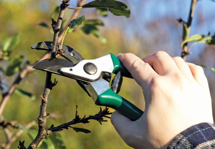 Если убрать ветви невовремя или нарушить систему, большой риск повредите растение / Фото: drevologia.ru