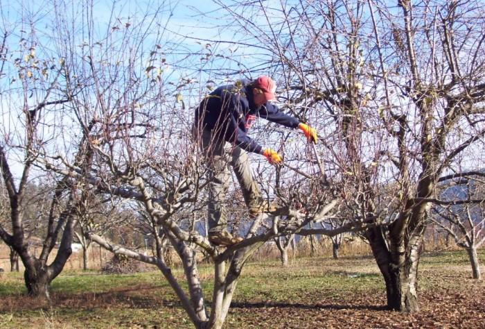 Чтобы дерево правильно развивалось, волчки нужно удалять / Фото: ogorod-bez-hlopot.ru
