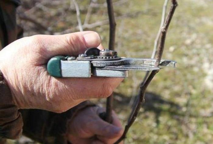 Данная техника позволяет скорректировать направление роста ветви / Фото: ogorod.ru