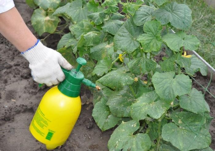 Средство с горчицей отгонит тлю, плодожорку и других насекомых / Фото: fermilon.ru