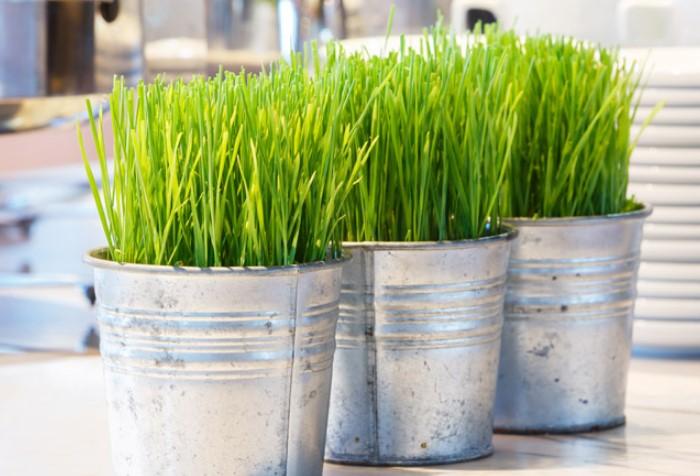 Овес и пшеница полезны для любимцев и станут украшением интерьера / Фото: ngrinko.com