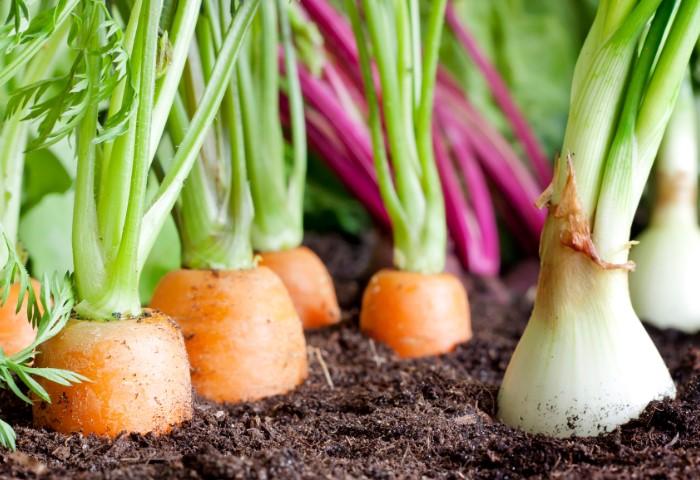 Правильное соседство овощей - залог богатого урожая