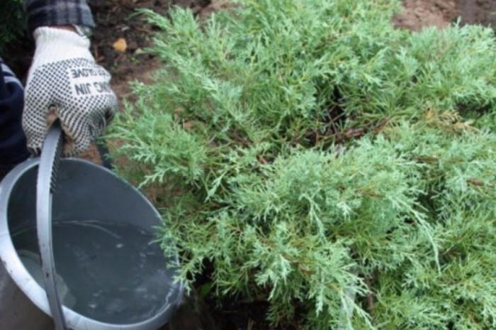 Как только заметили пробуждение деревьев и кустарников, начинайте их понемногу поливать / Фото: agronomu.com