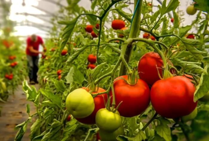 Помидоры, которые растут в тепличных условиях / Фото: rassadacvetov.com