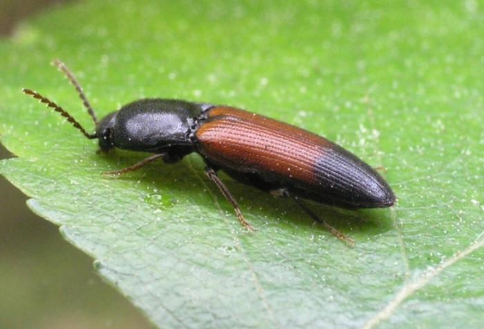 Взрослые насекомые выглядят как продолговатые жуки-щелкуны, длиной до 20 мм / Фото: stopklopu.com